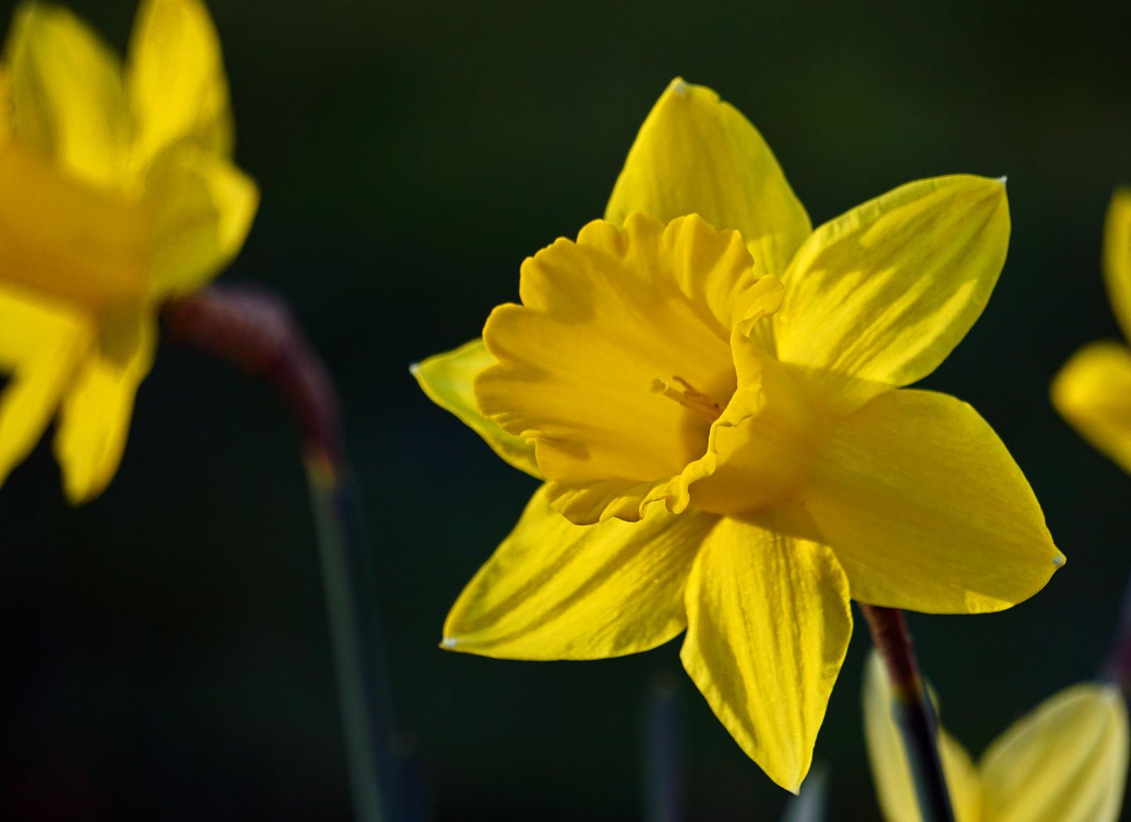 Daffodil Sunbeam